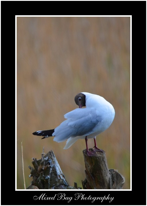 Black Headed Gull Potteric Carr