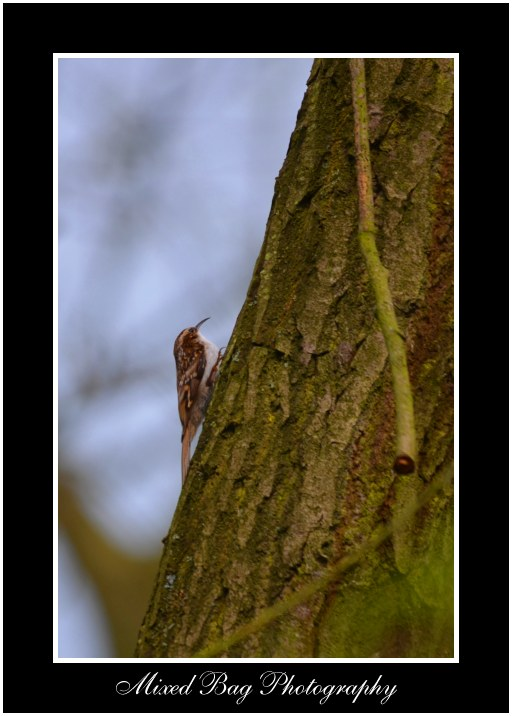 Tree Creeper Potteric Carr