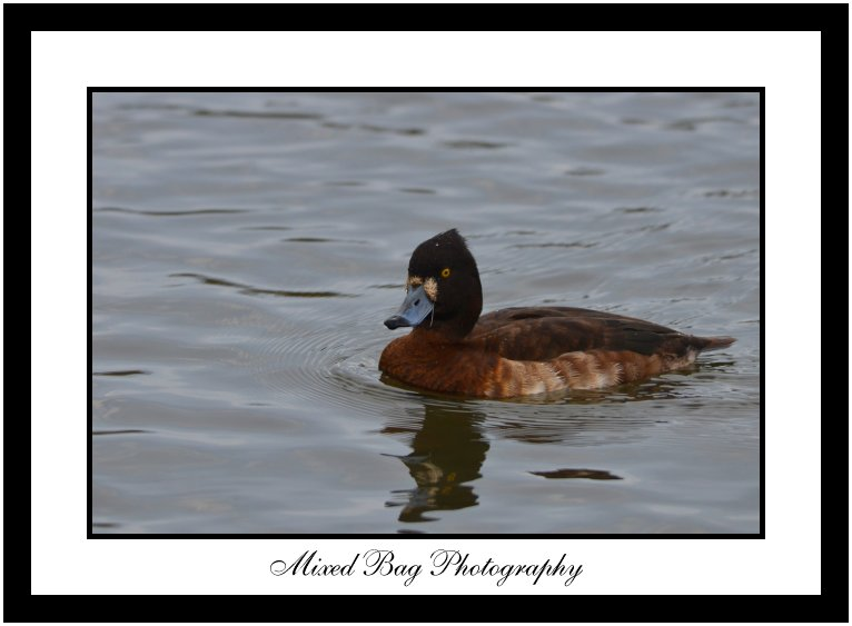 Female Tufted Duck at Fairburn Ings