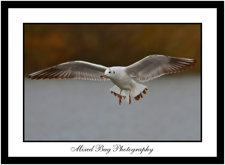 Gull at Fairburn Ings