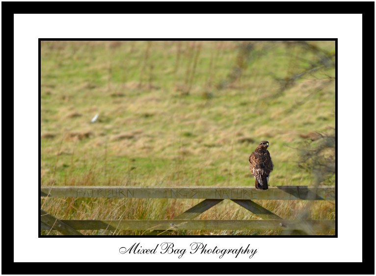 Buzzard at Fairburn Ings