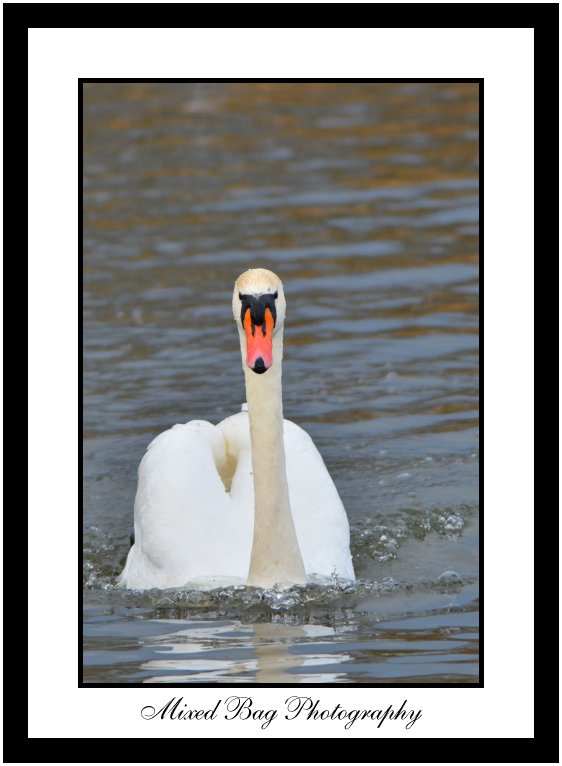 Berwick Swan at Fairburn Ings