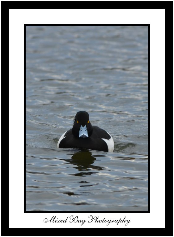 Tufted Duck at Fairburn Ings