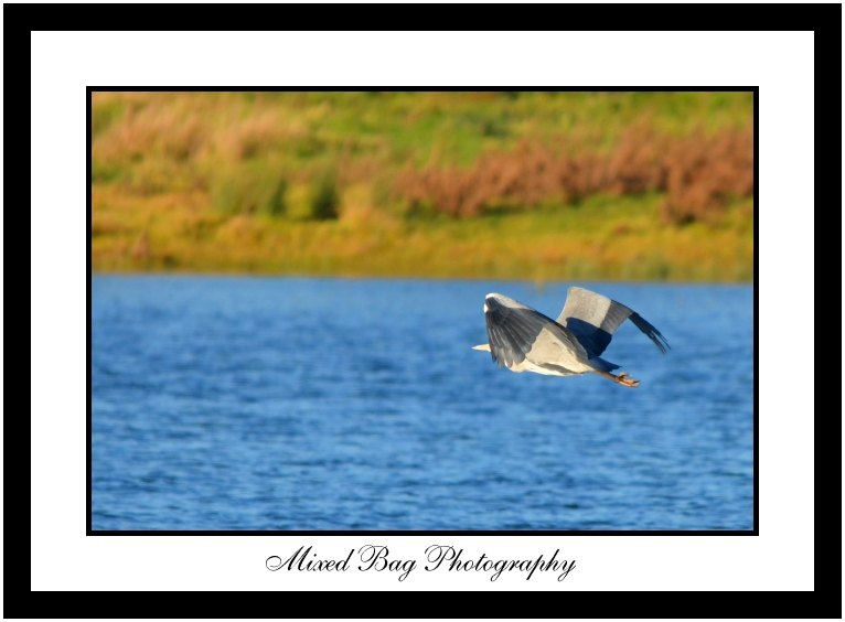 Heron mid flight