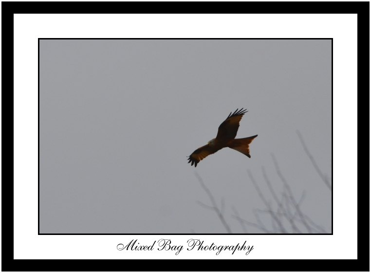 Red Kite near Allerton Park