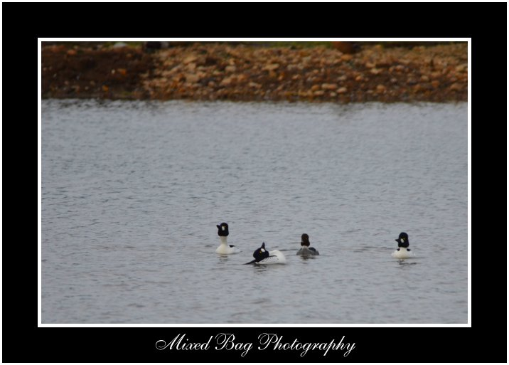 Mating ritual of the Goldeneye