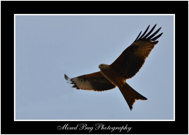 Red Kite in Yorkshire